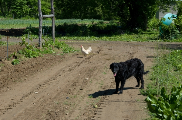 Bradley Farm dog and chicken